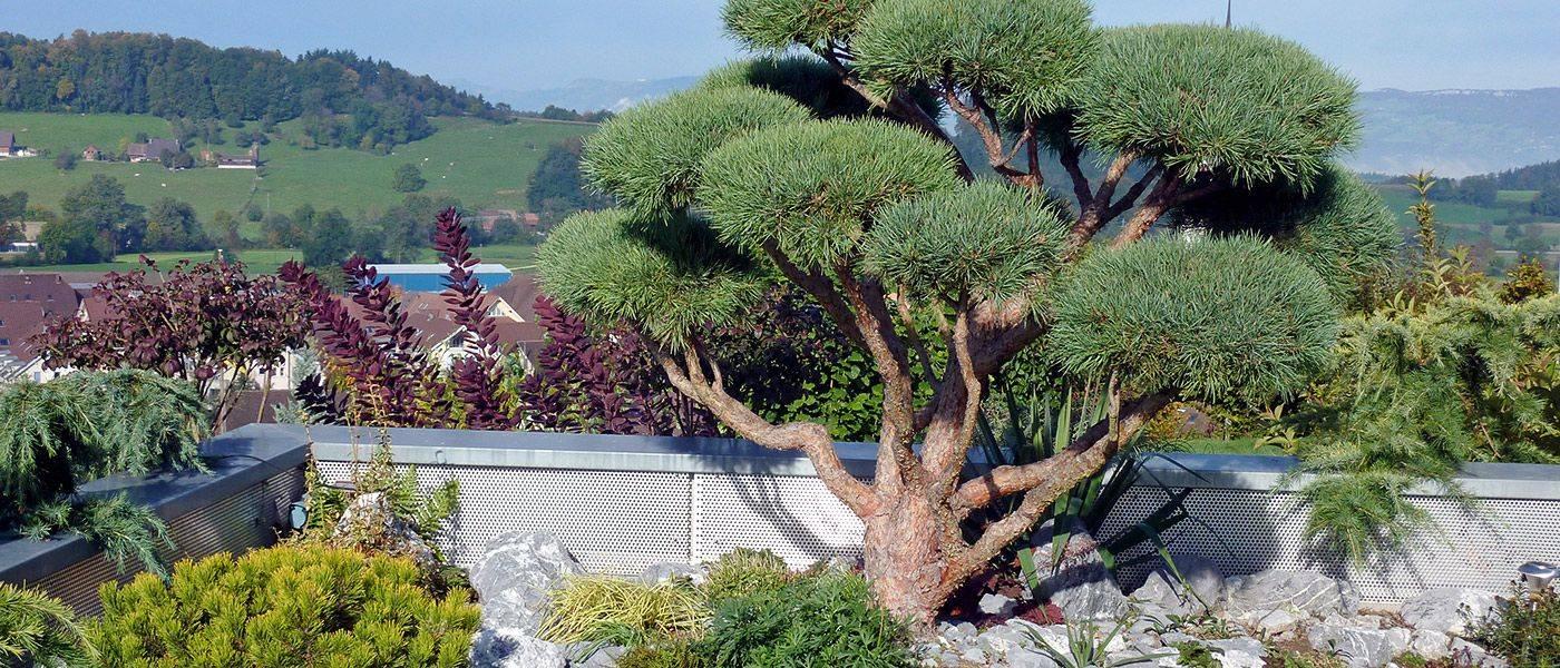 Pinus Grossbonsai